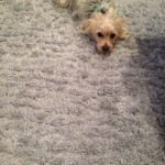 Puyallup-Dog-carpet-clean